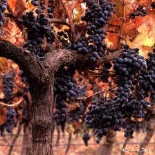 Vīni no Jaunzēlandes Gourmet vinothek veikalos